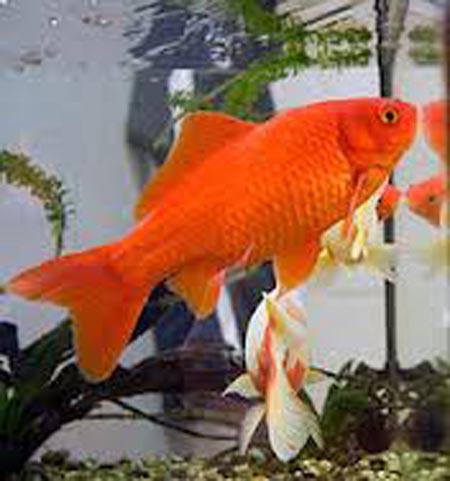 Fish: Captain Fishtopher Newport - Goldfish