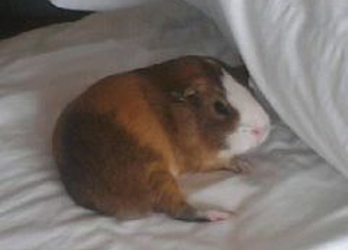 Guinea Pig: Snickers