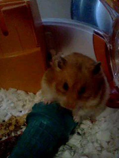 Pet Hamster: Paisley (Syrian Hamster)