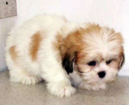 apso lhasa dog. Kirby Lhasa Apso Dog: Kirby