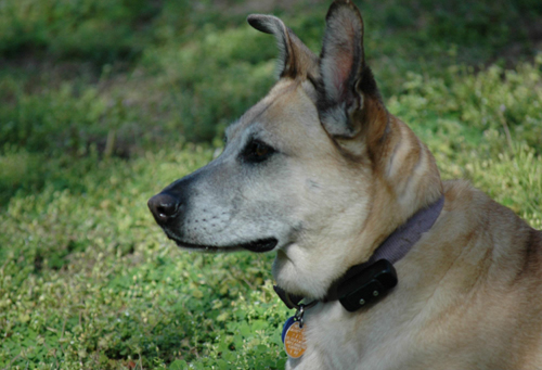 Pet Dog: Torah (Yellow Lab & Belgian Shepherd mix)