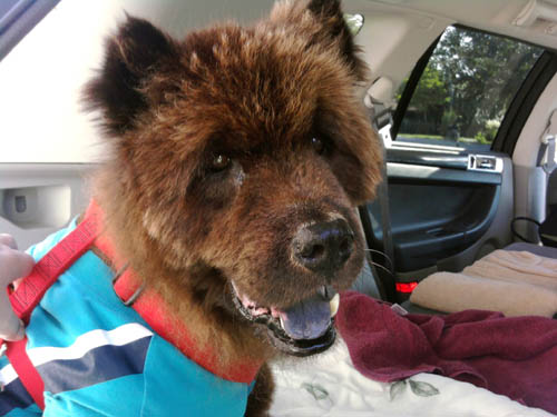 Pet Dog Blue Boy Chow Chow