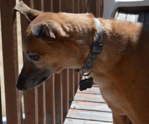 Dog: Beckett - Greyhound Mix