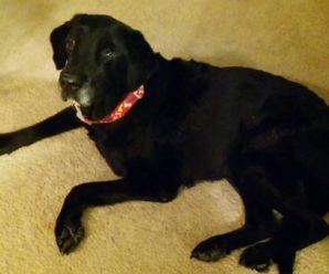 Pet Dog - Lexi - Black Labrador
