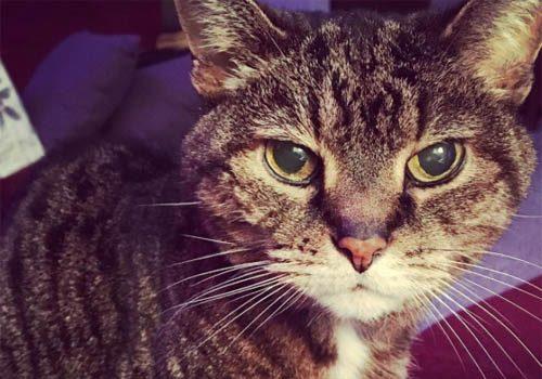 Cat: Pippy Yvonne Meyer (Tabby)