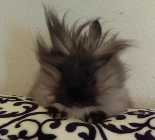 Rabbit Lulu - Lionhead Bunny