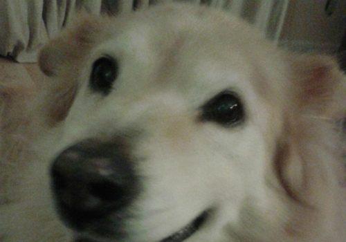 dog Billie Golden Chow Husky