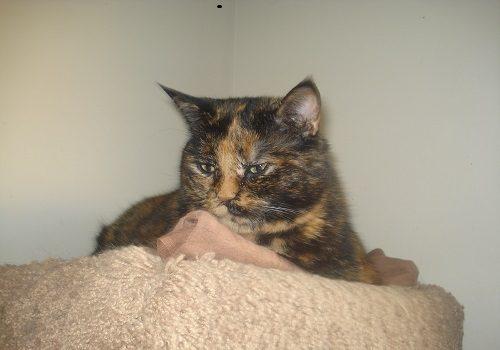 cat Ellie Tortoiseshell