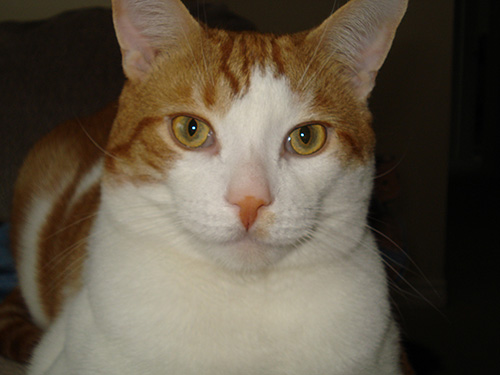 Cat Jake - Domestic Shorthair