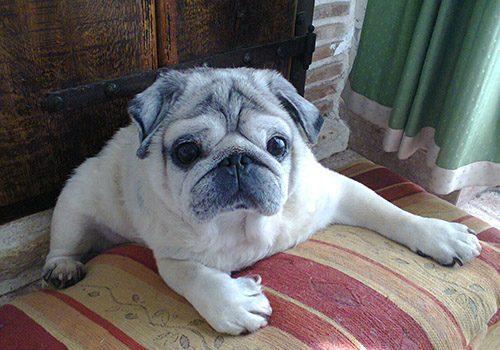 Pet Dog: Ari - Pug