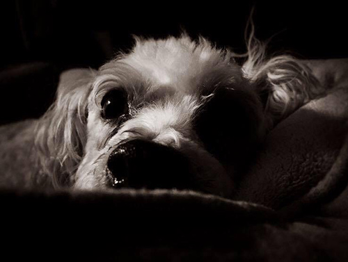 dog- Daisy Mae - Bichon - Poodle