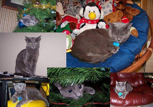 Max - Russian Blue cat