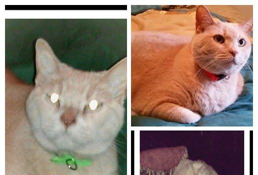 Pet cat - Sadie - Domestic Short Hair