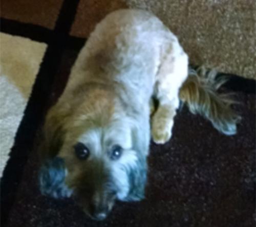 Pet dog Buddy - Softwire Dachshund