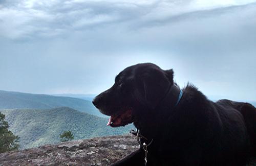 Dog Cooper – black Lab