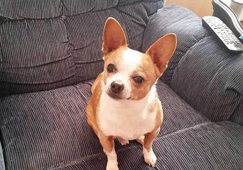 Dog: Nemo (Chihuahua / Terrier)