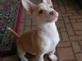 pet dog: Ne-Yo - Chihuahua / Terrier mix puppy