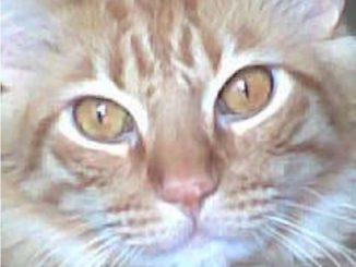 Cat: Oscar (Long Hair Tabby)