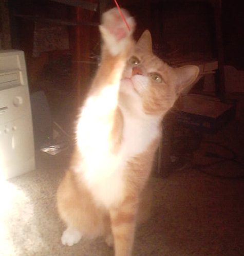 cat Pookie – orange tiger