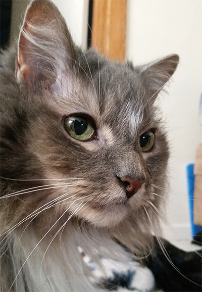 Pet Cat: BoB (Maine Coon)