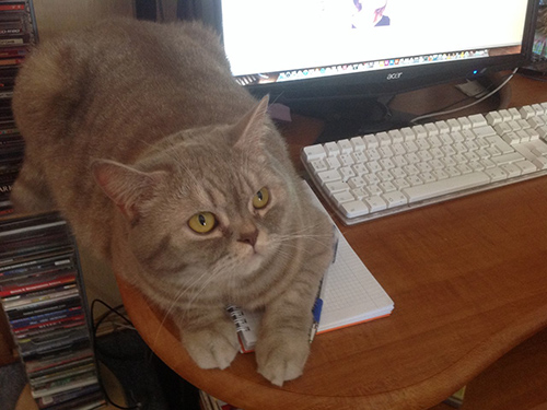 Pet Cat - Toffee (British Shorthair)
