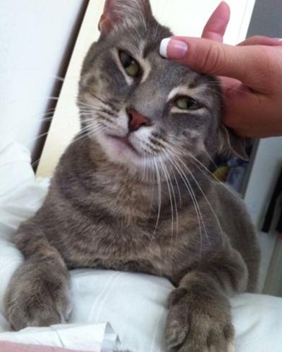 cat Emerson – Domestic Short Hair