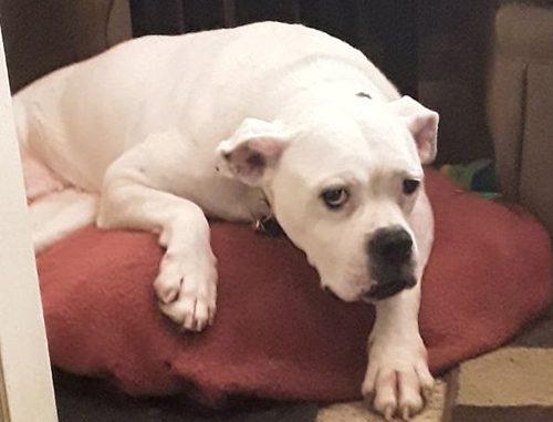 Dog: Daisy (American Bulldog)