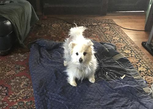 Dog: Penny (American Eskimo)