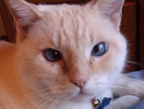 Cat: Whiteone (Siamese Mix)