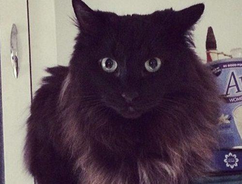 Pet Cat Costello