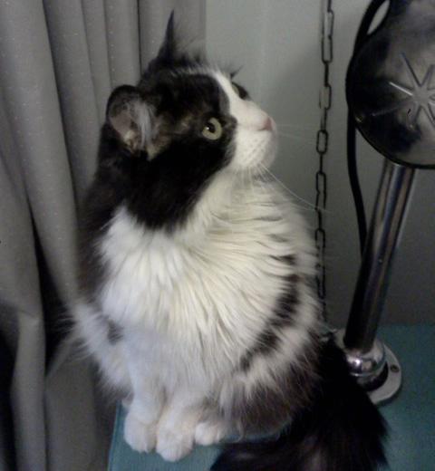 Cat: Fifi (Domestic Long Hair)