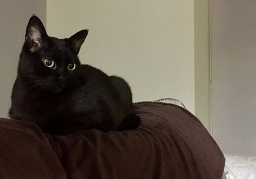 Pet cat: Justine – Black domestic shorthair