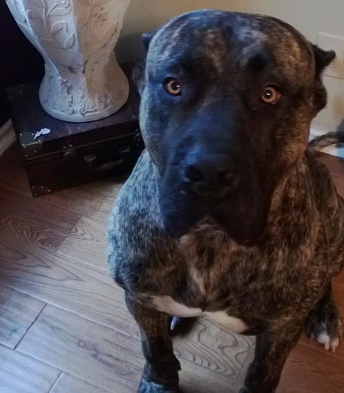 Dog: Kilo – Presa Canario