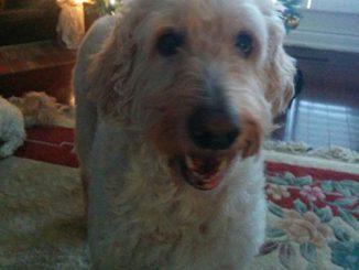 Dog - Yogi - Golden Doodle