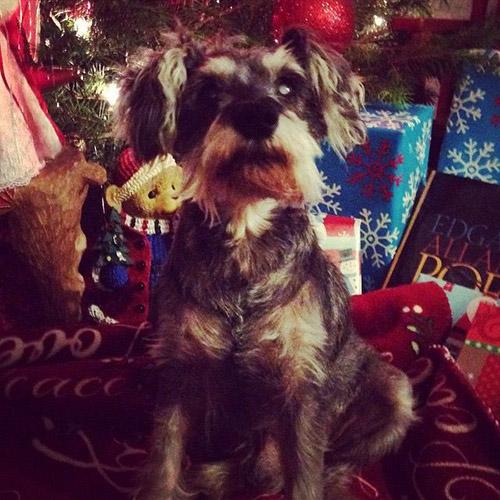 Dog: Rudy (Miniature Schnauzer)