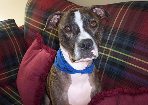 Dog: Safra (American Pit Bull Terrier)