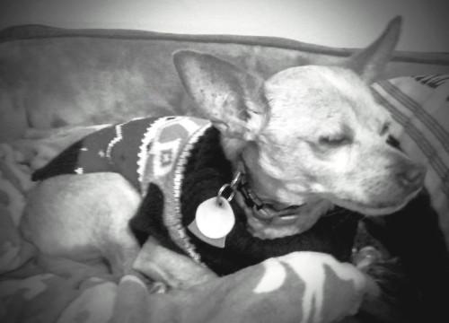 Pet Dog - Mr. Jenkins - Chihuahua mix