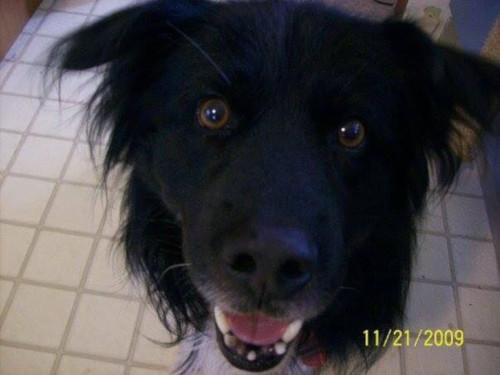 Dog: Spyro - Border Collie