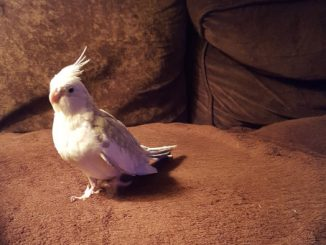 Pet bird: Snowflake - Cockatiel