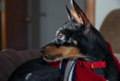pet dog Angus