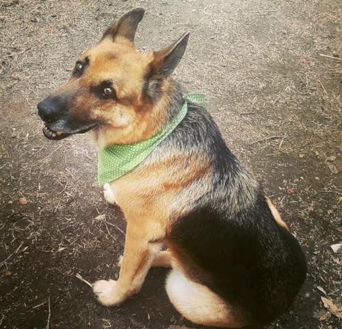 Dog: Woodrow – German Shepherd