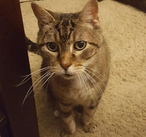 Pet cat: Charlie – American Short Hair Black/Grey Tabby