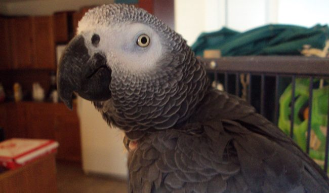 Pet Bird - Maccabee parrot