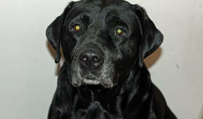 "Black ""Jax"" Lucky Dog (Labrador Retriever)"