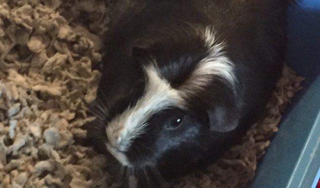 Guinea Pig - Harper