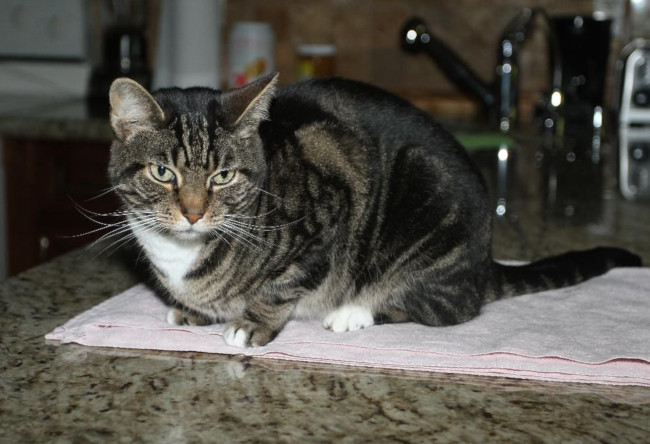 Cat – Mimi – Mackerel Tabby