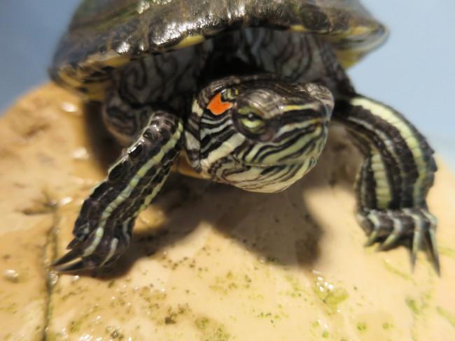 Pet turtle: Spotty-P – Red Ear Slider Turtle