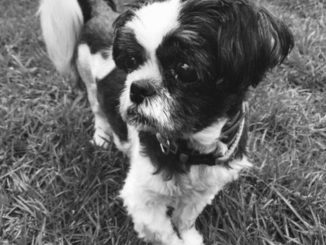 Dog - Asher (Shih Tzu)