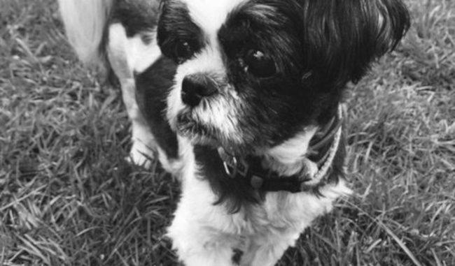 Dog - Asher (Shih Tzu)
