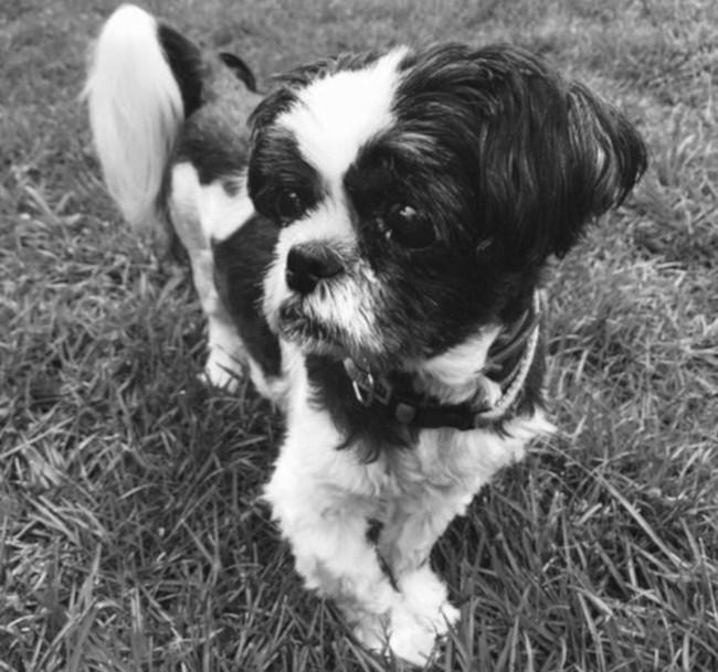 Dog – Asher (Shih Tzu)